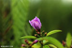 Peatland flower [kalteng_0553]