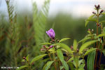 Peatland flower [kalteng_0554]
