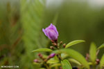 Peatland flower [kalteng_0555]