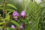 Peatland flower [kalteng_0558]
