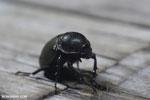 Beetle [kalteng_0580]