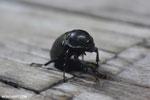 Beetle [kalteng_0581]