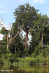 Peat forest in Borneo [kalteng_0658]