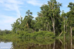 Peat forest in Borneo [kalteng_0702]