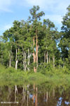 Peat forest in Borneo [kalteng_0703]
