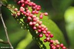 Berries [kalteng_0714]