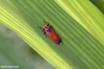 Orange leafhopper [kalteng_0721]