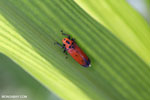 Orange leafhopper [kalteng_0722]
