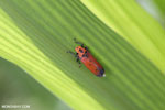 Orange leafhopper [kalteng_0723]