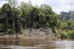 Forest damage caused by gold mining