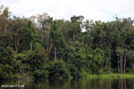 Peat forest in Borneo [kalteng_0767]