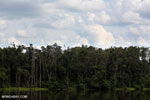 Peat forest in Borneo [kalteng_0769]