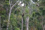 Borneo orangutan [kalteng_0772]