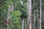 Borneo orangutan [kalteng_0773]