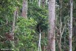Borneo orangutan [kalteng_0774]