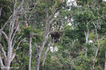Borneo orangutan [kalteng_0775]