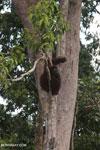 Borneo orangutan [kalteng_0776]