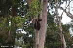 Borneo orangutan [kalteng_0778]