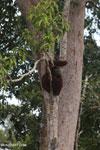 Borneo orangutan [kalteng_0779]
