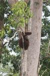 Borneo orangutan [kalteng_0780]