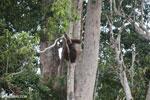 Borneo orangutan [kalteng_0781]