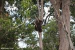 Borneo orangutan [kalteng_0783]