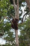 Borneo orangutan [kalteng_0784]