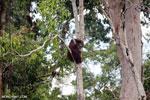 Borneo orangutan [kalteng_0785]