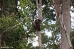 Borneo orangutan [kalteng_0786]