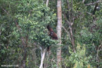 Borneo orangutan [kalteng_0788]