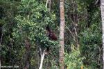 Borneo orangutan [kalteng_0789]