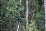 Borneo orangutan [kalteng_0790]