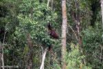 Borneo orangutan [kalteng_0791]