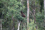 Borneo orangutan [kalteng_0792]