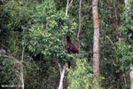 Borneo orangutan [kalteng_0793]