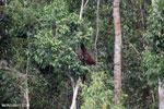 Borneo orangutan [kalteng_0794]