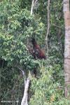 Borneo orangutan [kalteng_0795]