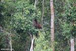 Borneo orangutan [kalteng_0796]