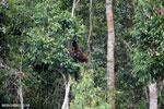 Borneo orangutan [kalteng_0797]