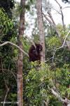 Borneo orangutan [kalteng_0798]