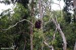 Borneo orangutan [kalteng_0799]