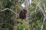 Borneo orangutan [kalteng_0800]