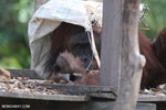 Bornean orangutan on 'Orangutan Island', a temporary home until it can be released back into the wild [kalteng_0802]