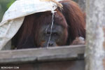 Bornean orangutan on 'Orangutan Island', a temporary home until it can be released back into the wild [kalteng_0805]