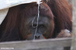 Bornean orangutan on 'Orangutan Island', a temporary home until it can be released back into the wild [kalteng_0806]