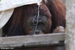 Bornean orangutan on 'Orangutan Island', a temporary home until it can be released back into the wild [kalteng_0807]