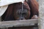 Bornean orangutan on 'Orangutan Island', a temporary home until it can be released back into the wild [kalteng_0807]