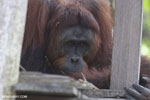 Bornean orangutan on 'Orangutan Island', a temporary home until it can be released back into the wild [kalteng_0808]