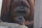 Bornean orangutan on 'Orangutan Island', a temporary home until it can be released back into the wild [kalteng_0809]