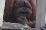 Bornean orangutan on 'Orangutan Island', a temporary home until it can be released back into the wild